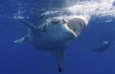 'Kho báu' chống tuổi già, ung thư trong cơ thể cá mập