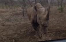 Tê giác bất ngờ húc thẳng vào ôtô khiến tài xế kinh sợ