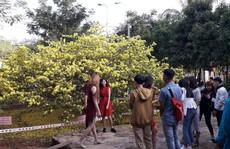 Hàng ngàn người đến thưởng lãm cây mai 'khủng' ở Đồng Nai