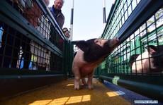 Du khách chen chân trẩy hội, xem đua lợn dịp Tết