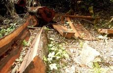 Thêm một khu rừng gỗ quý bị 'lâm tặc' đốn hạ ở Quảng Bình