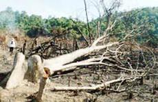 Bình Thuận: Bắt giam trưởng Ban Quản lý rừng phòng hộ La Ngà