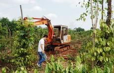 Người trồng tiêu, cà phê lỗ nặng vì bị... 'bẻ kèo'