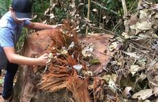 Cách chức, kỷ luật hàng loạt cán bộ vì để 'lâm tặc' phá rừng gỗ quý