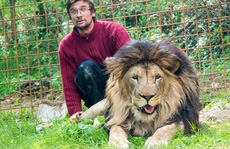 Nuôi sư tử làm thú cưng, bị vồ chết ngay trong lồng