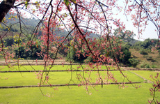 Hoa ô môi nhuộm hồng Cát Tiên đẹp đến nao lòng