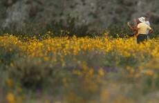 Đợt 'siêu nở hoa' vô cùng bất thường trên sa mạc California