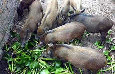 Tổ công tác Thủ tướng 'tuýt còi' thông tư cấm nuôi heo bằng bèo tây, thân chuối