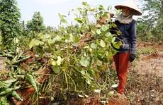 Người trồng tiêu, cà phê lỗ nặng vì bị... 'bẻ kèo': Phát hiện nhiều sai phạm đất đai