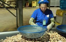 Ngành điều bất ngờ về 'con mọt' khiến nguyên liệu bị kẹt tại cảng