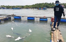 CLIP: Hàng chục tấn cá bớp loại 3-5kg/con 'phơi bụng' ở TP Vũng Tàu