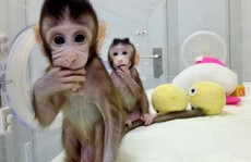 Trung Quốc gây sốc với thí nghiệm 'nhân cách hóa' loài khỉ