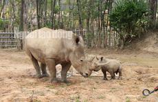 Ngắm tê giác con được sinh ra ở Safari Phú Quốc