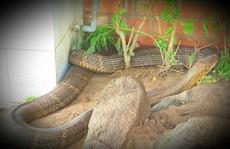 Sẽ tịch thu 2 rắn hổ mây 'khủng' nuôi nhốt trái phép tại Khu Du lịch Đồi Tức Dụp