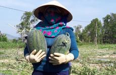 Sau 'giải cứu', nông dân Quảng Ngãi lãi 'khủng' với dưa hấu