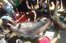 Khánh Hòa: Bắt cá ngừ đại dương 'khủng' nặng 386 kg