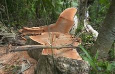 Vụ giám đốc bất lực, mặc rừng tan nát: Có hay không việc bảo kê?