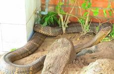 Vẫn chưa xử lý được cặp rắn hổ mây 'khủng' ở An Giang