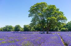 Những cánh đồng lavender nổi tiếng thế giới