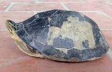 Hết rắn và trăn 'khủng', người dân An Giang lại phát hiện rùa lạ hiếm