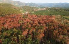 Bắt 3 đối tượng đầu độc rừng thông quy mô chưa từng có ở Lâm Đồng