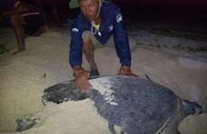 Đỡ đẻ cho rùa biển ở Hòn Cau