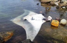 Ngư dân Lý Sơn liên tiếp bắt cá đuối 'khủng'
