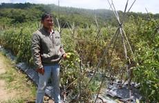 Xót xa hơn 3 ha cà chua chết rũ nghi bị kẻ xấu hạ độc