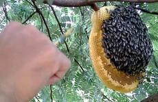 Đi lấy mật, người đàn ông bị ong đốt rơi xuống đất tử vong