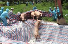 Dịch tả heo châu Phi tấn công trại heo giống lớn nhất Bạc Liêu