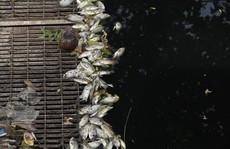Sau khi xả nước hồ Tây vào sông Tô Lịch, thấy cá chết hàng loạt