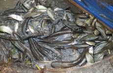 Mê gì bằng cả nhà lao xuống bắt cá đồng sau khi tát