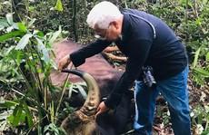 Lại phát hiện xác bò tót nặng khoảng 800kg trong khu bảo tồn