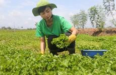 Trồng rau má nghiền lấy bột thu 4 tỉ đồng mỗi năm ở Củ Chi