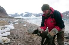 Cáo Bắc cực vượt 4.415 km tìm nơi sinh sản