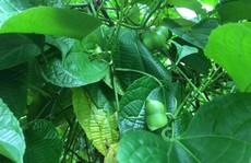 Ồ ạt trồng Sachi, người dân gặp khó khi tiêu thụ