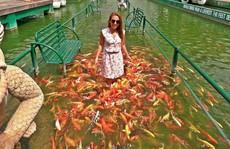 Trải nghiệm lối đi dưới nước với đàn cá Koi nghìn con