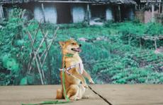 """Nhà sản xuất phản hồi tranh cãi chọn chó Nhật vào phim """"Cậu Vàng"""""""