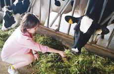 Trại bò sữa check-in tuyệt đẹp ở Mộc Châu thu hút giới trẻ
