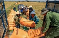 Phát hiện 2 chất quý hơn vàng có trong gạo hữu cơ Quảng Trị