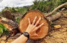 Lâm Đồng: Lại phát hiện phá rừng hàng chục năm tuổi