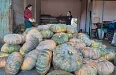 Bí đỏ mất mùa, rớt giá thảm hại chưa tới 3.500 đồng/kg