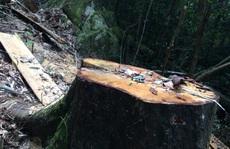 Cận cảnh những cây gỗ khủng bị triệt hạ ở 'Đà Lạt 2'