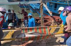 Ngư dân Phú Yên 'mỏi tay' khiêng cá ngừ đại dương