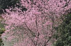 Đẹp ngất ngây hoa anh đào trên cao nguyên Măng Đen, Kon Tum