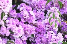 Lạ lùng giàn hoa tỏi đổi màu, 'hút hồn' người đi đường ở Sa Đéc