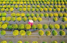 Vườn cúc Sa Đéc rợp sắc vàng những ngày cuối năm