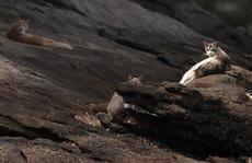 Covid-19 biến 'đảo mèo' của Brazil thành 'đảo ăn thịt'