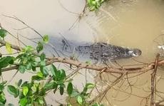 Cá sấu to 'dạo chơi' trên sông: Người nuôi đối diện mức phạt 350 triệu đồng
