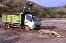 Indonesia dậy sóng vì rồng Komodo 'chặn đầu' xe tải
